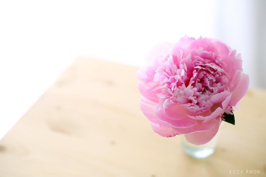 Pivoine en floraison - Ecce Amor